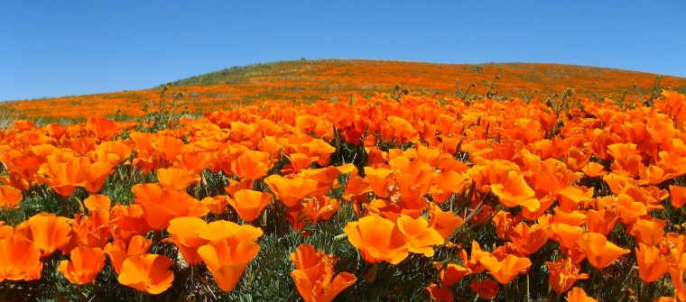 A field of California poppies. Flickr: Kaos2
